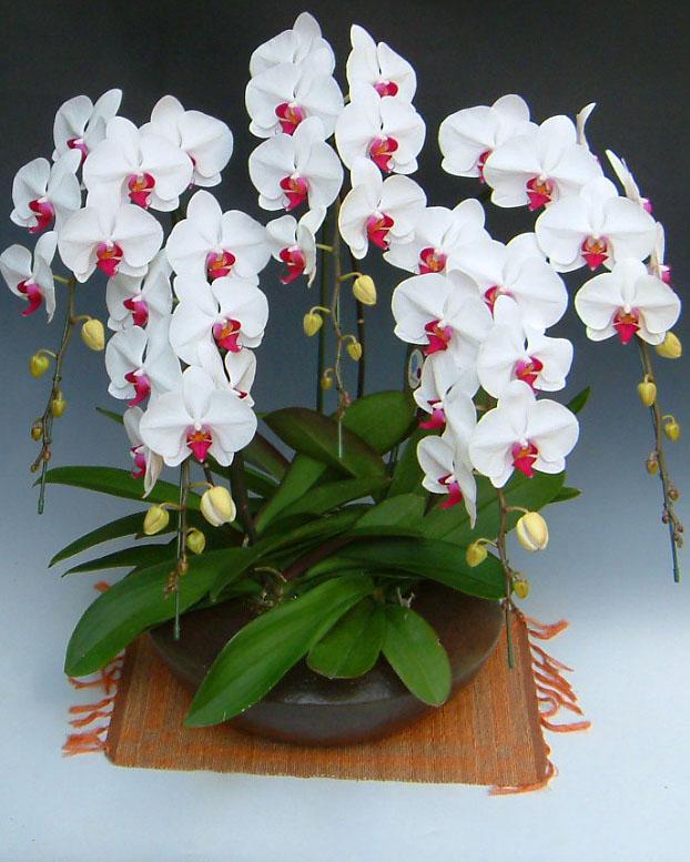 【森田さんの農場直送】 大輪胡蝶蘭 5本立ち 白赤 和仕立て 【送料無料】