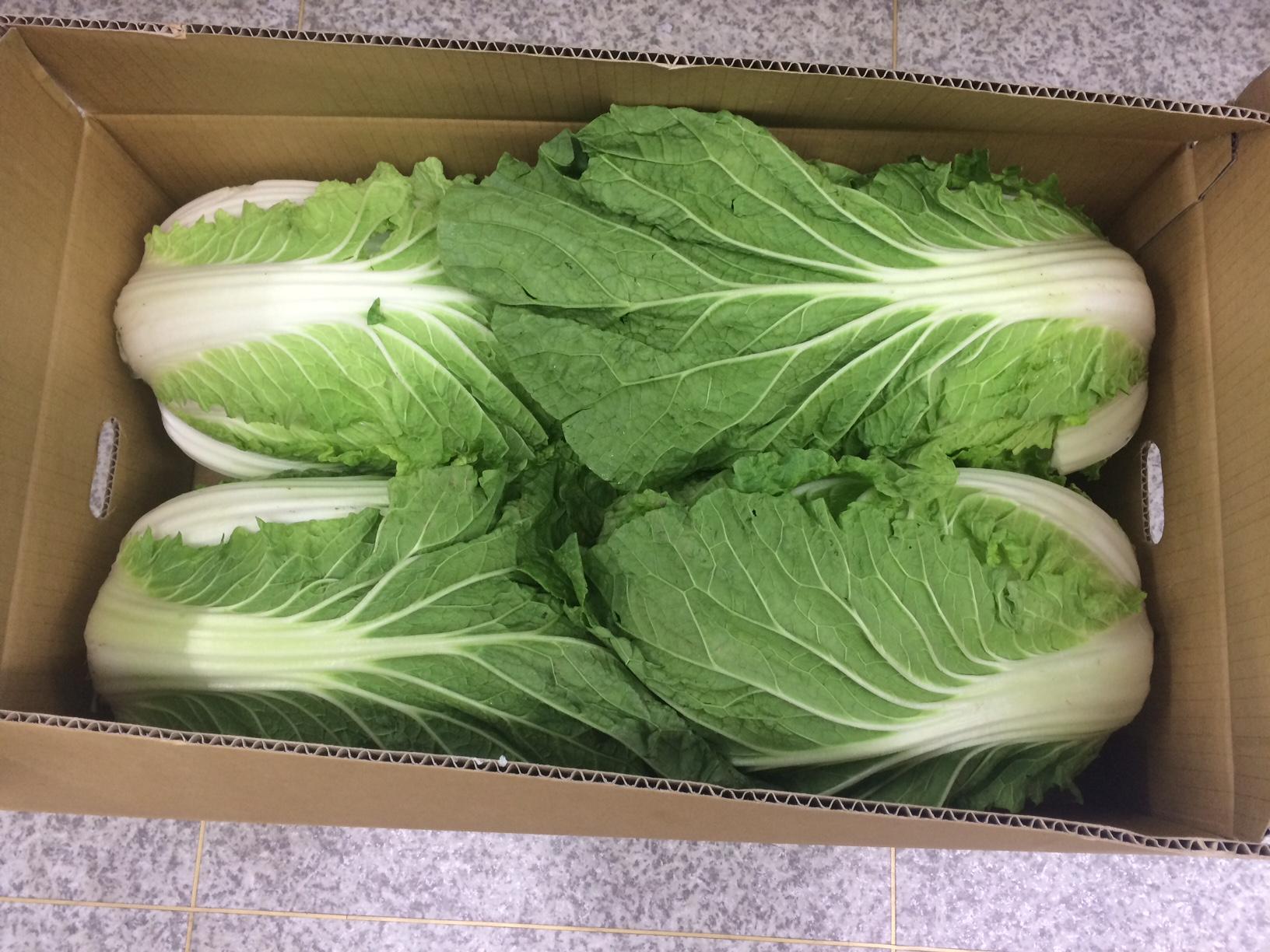 塩熟白菜 朝採れ 新鮮 (4〜5玉入)