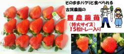 古賀農園の無農薬苺 さがほのか特大サイズ15粒トレー入り