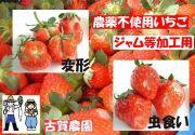古賀農園 化学農薬不使用いちご ジャム用(小粒、変形、虫食い苺)4パック入でたっぷり1kg以上【無添加食品・自然食品】