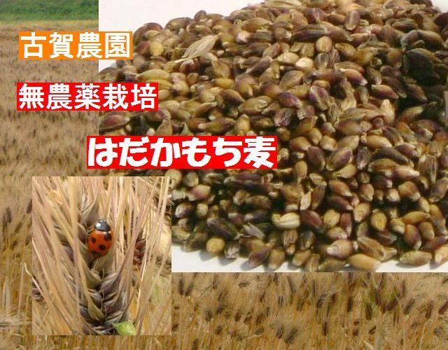 古賀農園 国産無農薬栽培はだかもち麦