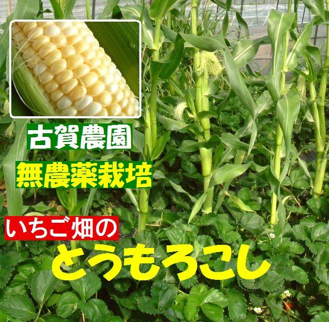 故g農園 無農薬栽培玉蜀黍(とうもろこし) 無農薬栽培イチゴ畑にトウモロコシが・・・