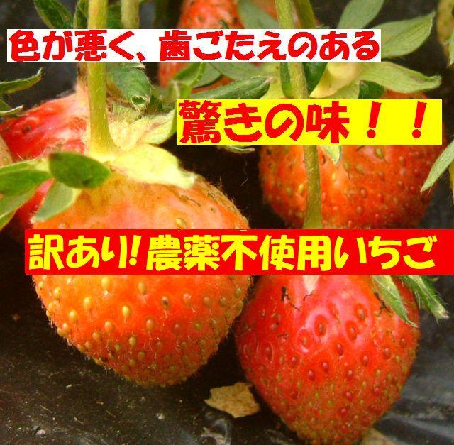古賀農園「訳あり化学農薬不使用苺!」常識がひっくり返る驚きの味!2パック入り【無添加食品・自然食品】