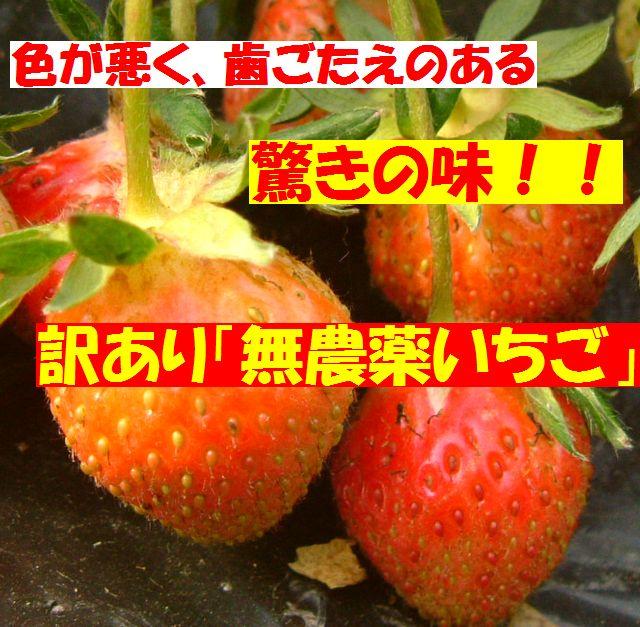 訳あり無農薬苺!色が悪く歯ごたえのある苺しかし常識がひっくり返る「驚きの味」