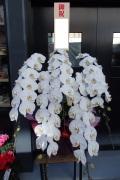 大輪白5本立ち胡蝶蘭