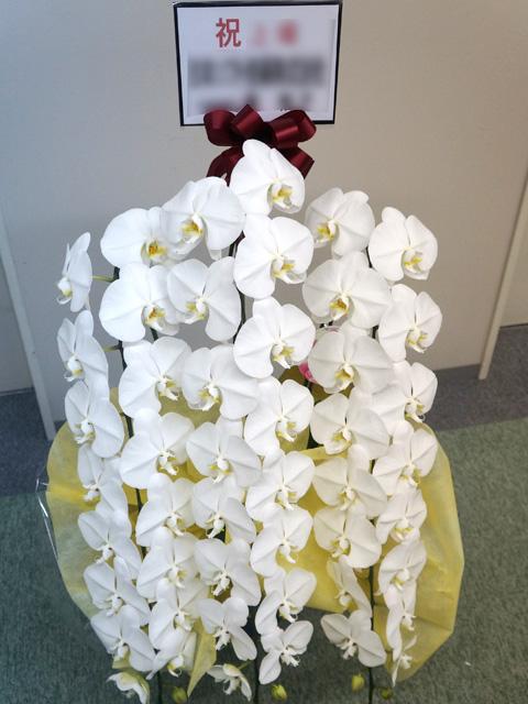 胡蝶蘭 ホワイト大輪 50〜56輪