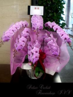 胡蝶蘭 6本立(ピンク)