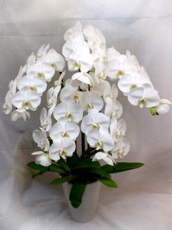 胡蝶蘭 5F 白