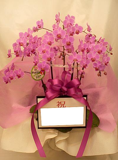 胡蝶蘭5本立 ピンク