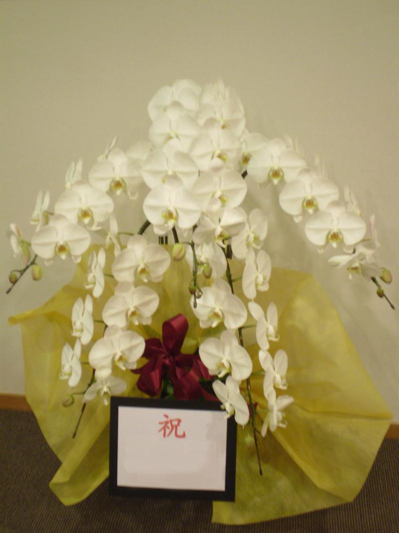 胡蝶蘭5F・3L・白