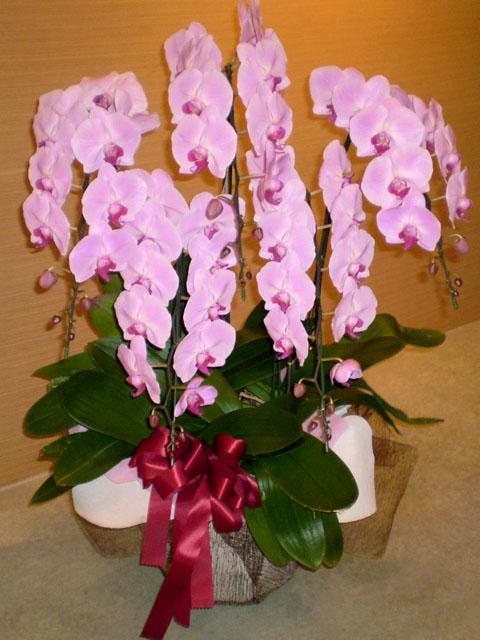 胡蝶蘭 5本立 ピンク