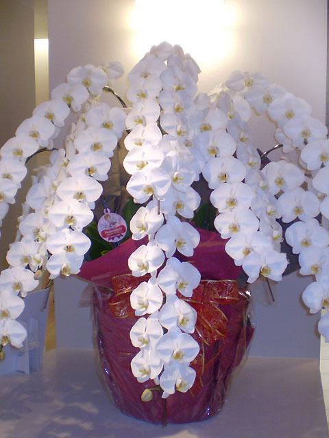 胡蝶蘭 10本立て 周年祝い