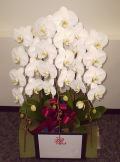 新宿 開業祝いに贈る胡蝶蘭