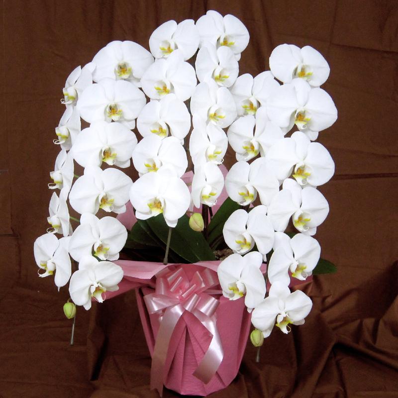 胡蝶蘭白大輪花 豪華3本立ち 「ゆったり シンプル」普通ラッピング商品