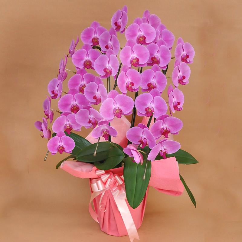 母誕生日プレゼント用 ピンク 胡蝶蘭 豪華3本立ち 「雅」