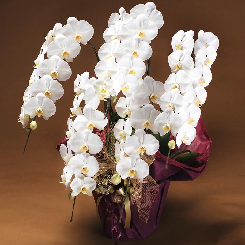 お祝い花 胡蝶蘭「大繁盛プラチナ」(DX雅)