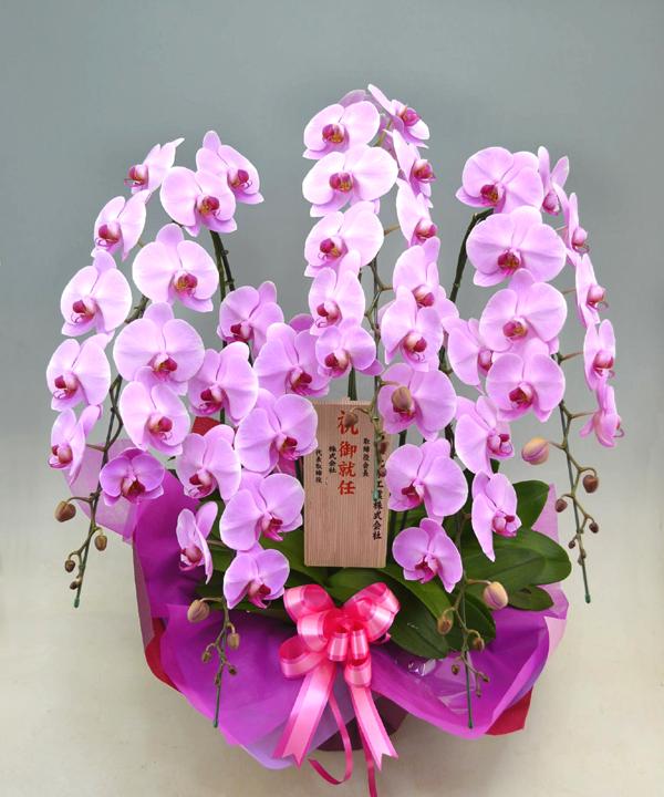 胡蝶蘭ピンク ひときわ豪華なピンク花の花5本立ち商品