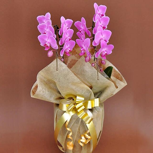 誕生日プレゼント 花 胡蝶蘭 ミディー ピンク色 花2本立ち