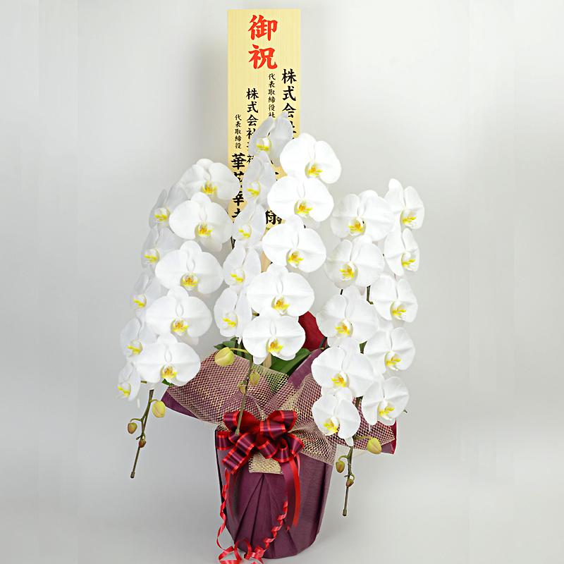 東京近郊都市今日配送用胡蝶蘭3本立ち