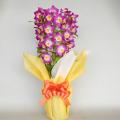 母の日プレゼント用 デンドロビューム ピンク花3本立ち