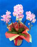 母の日のプレゼントに 胡蝶蘭個人様向けミディ  ピンク 結 竹