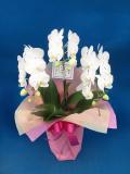母の日のプレゼントに 胡蝶蘭個人様向けミディ 結 竹