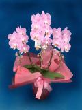 母の日のプレゼントに 胡蝶蘭個人様向けミディ  ピンク 結 松