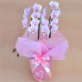 母の日プレゼント 花 胡蝶蘭 ミディー 薄ピンク色 花2本立ち