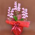 誕生日プレゼント 花 胡蝶蘭 ミディー ピンク色 花3本立ち