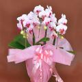 誕生日プレゼント用の花 胡蝶蘭ミディー白色赤リップ 花3本立ち