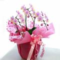 誕生日プレゼント 花 胡蝶蘭 ミディー 薄ピンク色 花3本立ち