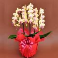 誕生日プレゼント用の花 胡蝶蘭ミディー黄色赤リップ 花3本立ち
