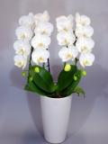 母の日プレゼントにも最適 花 胡蝶蘭 ミディー 白色 サンクスポット アマビリス