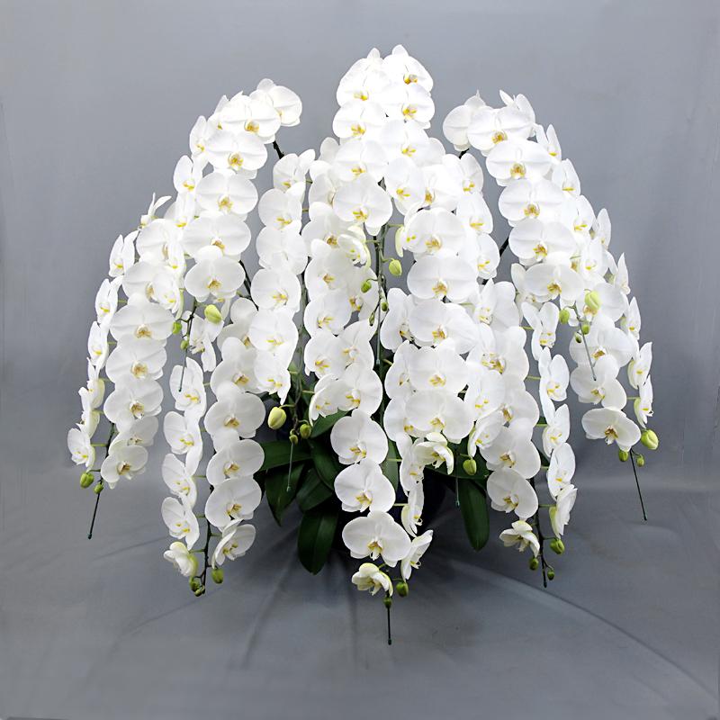 胡蝶蘭 花10本立ち