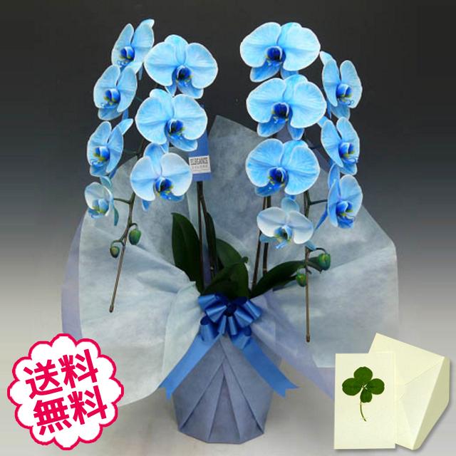 青い胡蝶蘭 大輪 2本立 18輪以上(つぼみ含む)
