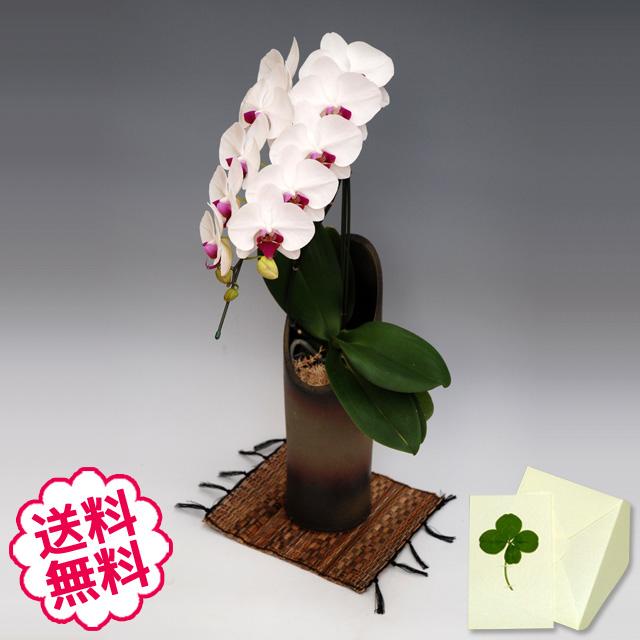 胡蝶蘭 大輪 リップ(紅白) 「和鉢 かぐや」(敷物付) 1本立