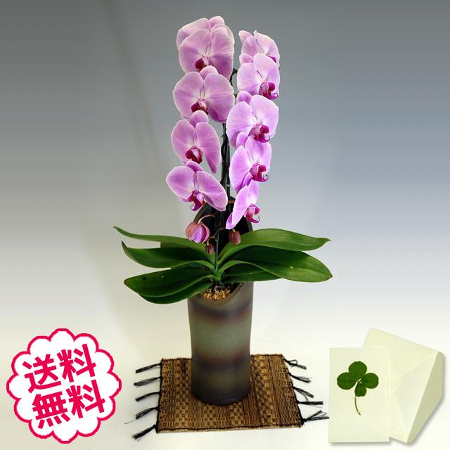 胡蝶蘭 大輪 ピンク 「和鉢 かぐや」(敷物付) 1本立