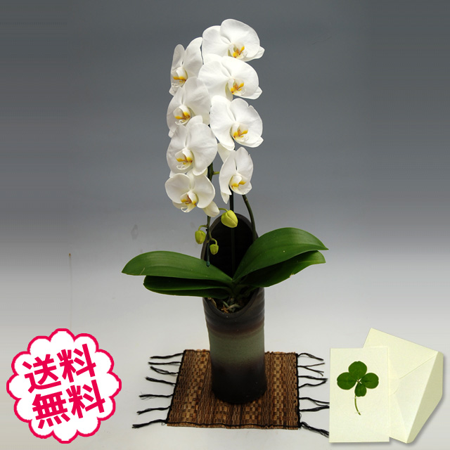 胡蝶蘭 大輪 白 「和鉢 かぐや」(敷物付) 1本立