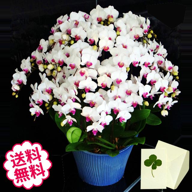 胡蝶蘭 ミディ 15本立 白系