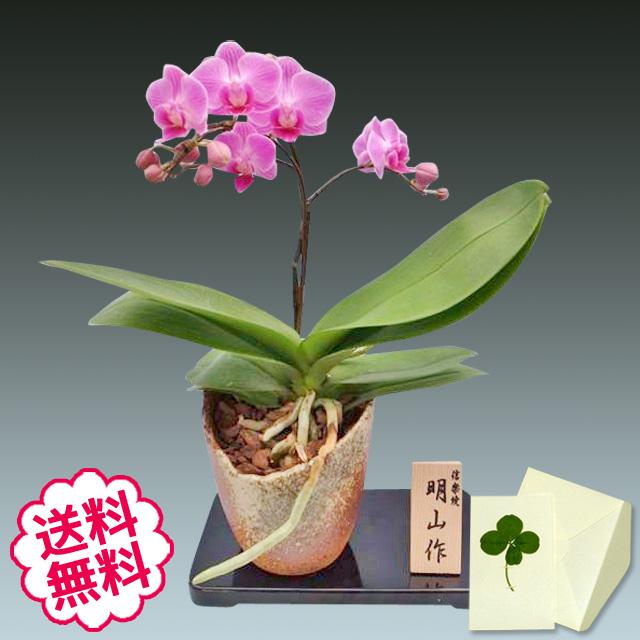 胡蝶蘭 ミディ 1本立 信楽焼鉢