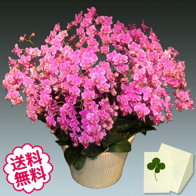 胡蝶蘭 ミディ 20本立 ピンク系