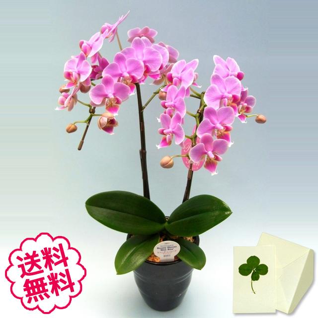 胡蝶蘭 ミディ 2本立(4.5号)