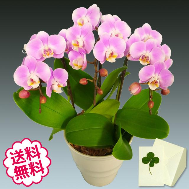胡蝶蘭 ミディ 3本立(5.5号)
