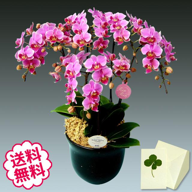 胡蝶蘭 ミディ 5本立 ピンク