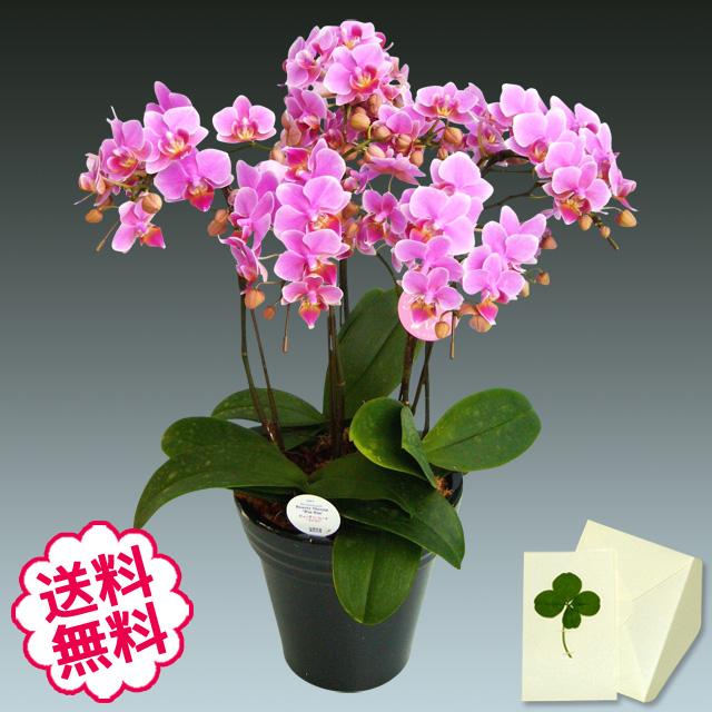 胡蝶蘭 ミディ 5本立(特5 6.5号)