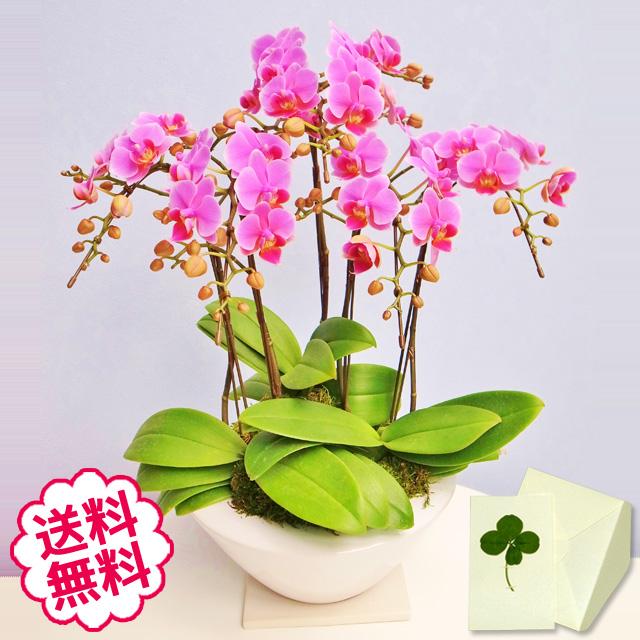 胡蝶蘭 ミディ 5本立 白平鉢入