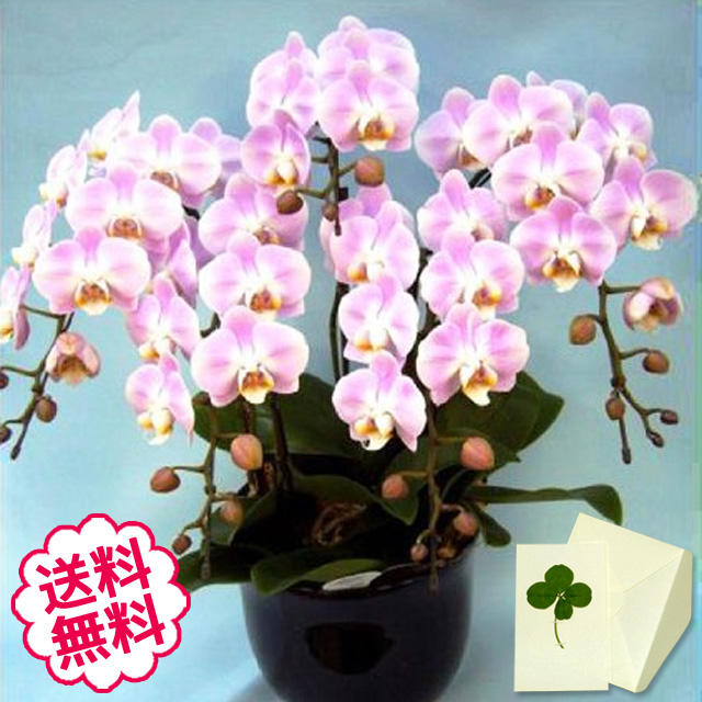 胡蝶蘭 ミディ 5本立(特5 7.5号)
