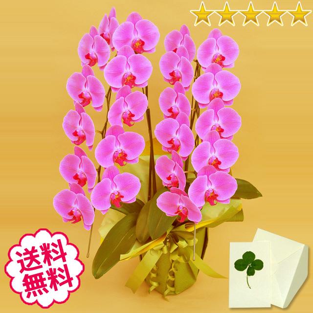 胡蝶蘭 大輪 ピンク 2本立 22輪前後(つぼみ含む)
