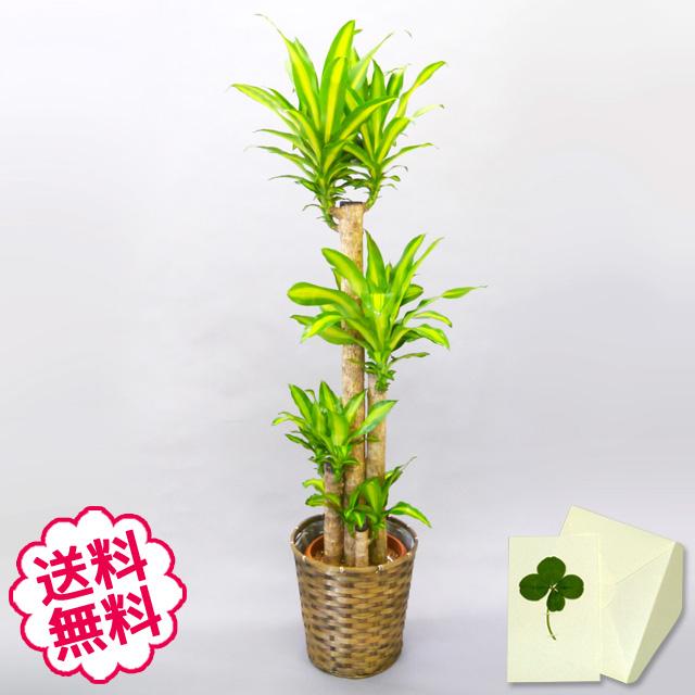 観葉植物 幸福の木 10号(籐かご、皿付)