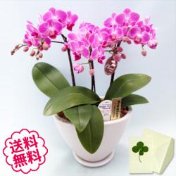 胡蝶蘭 ミディ 3本立 白舟形鉢